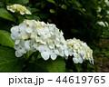 雨の中の白い紫陽花 44619765