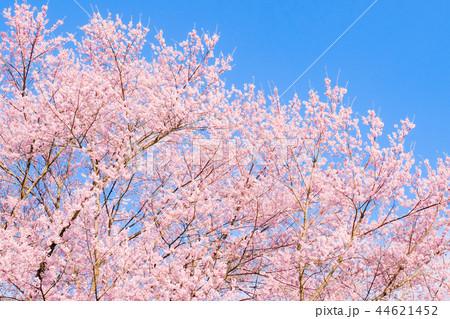 桜 44621452