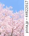 桜 花 春の写真 44622017