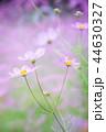 コスモス 秋桜 花の写真 44630327