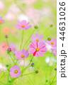 コスモス 秋桜 花の写真 44631026