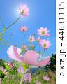 コスモス 秋桜 コスモス畑の写真 44631115