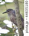 幼鳥 鳥 サギの写真 44635180