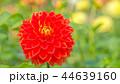 ダリア 花 植物の写真 44639160