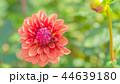 ダリア 花 植物の写真 44639180