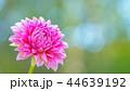 ダリア 花 植物の写真 44639192