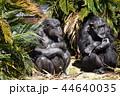 チンパンジーの日なたぼっこ 44640035