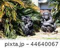 チンパンジーの日なたぼっこ 44640067
