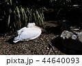 モモイロペリカン ペリカン 鳥の写真 44640093