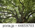 楠 巨樹 植物の写真 44659703