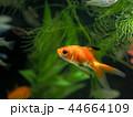 金魚 魚 淡水魚の写真 44664109