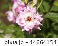 バラ 花 植物の写真 44664154