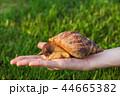 手 かたつむり カタツムリの写真 44665382