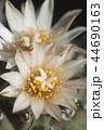 さぼてん サボテン 仙人掌の写真 44690163