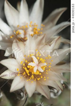 Turbinicarpus  flowers 44690163