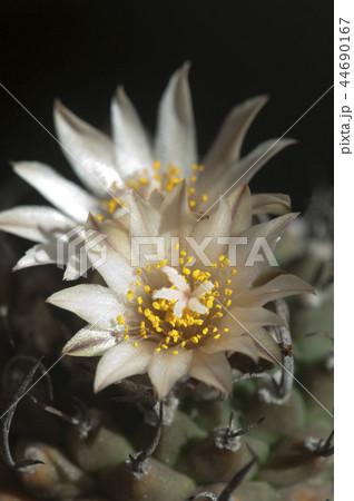 Turbinicarpus  flowers 44690167