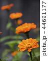 橙色の百日草の花花 44691177
