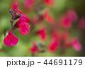 赤色のチェリーセージの花花 44691179