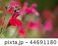 赤色のチェリーセージの花花 44691180