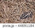収穫した沢山の黒大豆のさやと豆 44691184