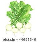 かぶ 水彩画 野菜のイラスト 44695646