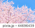 桜 花 春の写真 44696439