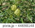 植物 緑色 葉の写真 44698148