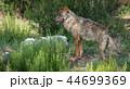 おおかみ オオカミ 狼の写真 44699369