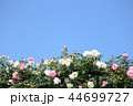 薔薇イメージ 44699727