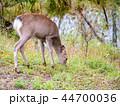 エゾシカ シカ 動物の写真 44700036