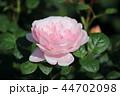 薔薇 クイーンオブスウェーデン 44702098