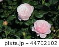 薔薇 クイーンオブスウェーデン 44702102