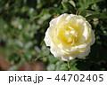 薔薇 快挙 44702405