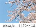 桜 満開 春の写真 44704418