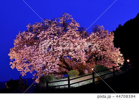 納戸料の百年桜 44708394