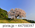 納戸料の百年桜 桜 春の写真 44708397