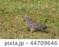 ハト キジバト 鳥の写真 44709646