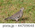ハト キジバト 鳥の写真 44709648