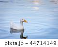 アヒル 湖 池の写真 44714149
