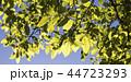 緑 木の葉 葉の写真 44723293