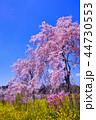 桜 八重桜 満開の写真 44730553