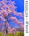 桜 八重桜 満開の写真 44730554