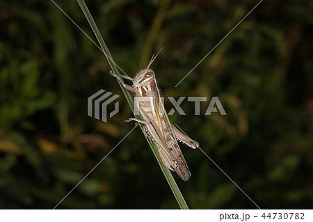 ツチイナゴ、秋の昆虫 44730782