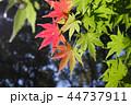 初秋 もみじ 紅葉の写真 44737911