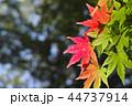 初秋 もみじ 紅葉の写真 44737914