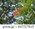初秋 もみじ 紅葉の写真 44737915