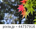 初秋 もみじ 紅葉の写真 44737916