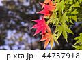 初秋 もみじ 紅葉の写真 44737918