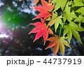 初秋 もみじ 紅葉の写真 44737919