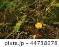 福寿草 早春 元日草の写真 44738678